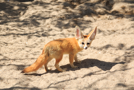 Fennec Fox, desert fox, Vulpes zerda Stock Photo