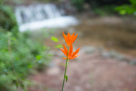 Tsingtao Lily blooming in a valley