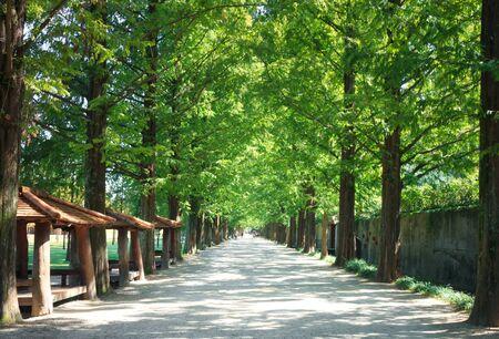 Metasequoia forest road in Damyang, Korea Stock Photo