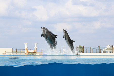 dolphin jumping and performing in a pool, Okinawa, Japan Foto de archivo