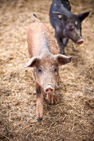 muffle: happy piggies
