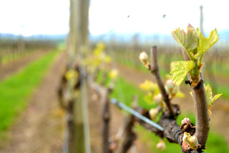 New Growth on Grape Vine Boutique Winery Yarra Valley Melbourne Australia Stock Photo