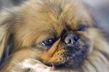 aged: Pekingese - aged look