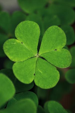 three leaf: Close-up of three leaf clover