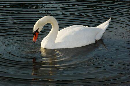 herbivores: The white swan water bird