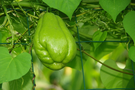 chayote: Chayote grows in France