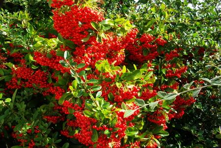 burning bush: Red berries of pyracantha or burning bush