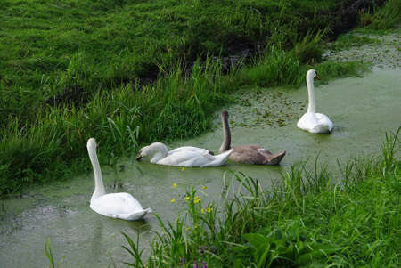 monogamous: Tuberculs Swan and Black Swan in the marshes