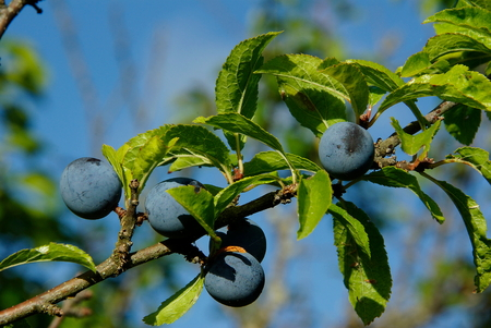 pine  fruit: Blackthorn fruit with as black pine call.