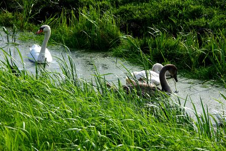 anatidae: Swans in the swamps in Holland