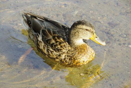 palmiped: Mallard swimming in clear water.
