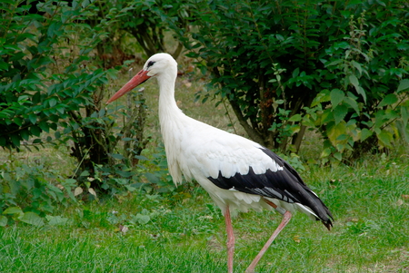 gregarious: Black and White Stork in Alsace