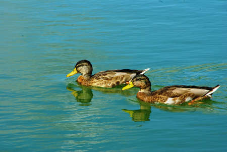 palmiped: Couple of mallards trying to swim Stock Photo