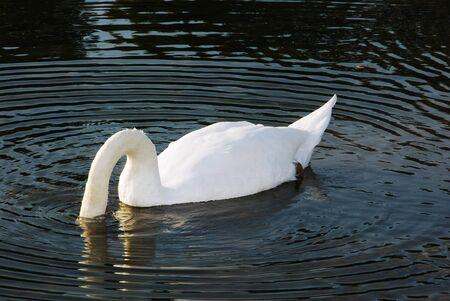 monogamous: White swan eating Stock Photo