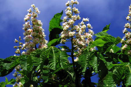 venous: guinea chestnut flowers