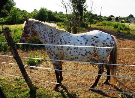 appaloosa: White Horse mouchet? ? appaloosa black dress or behind a fence ? ? Electric