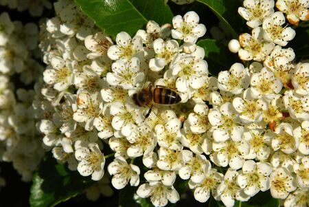 ornamentals: pyracantha flowers with a bee bee