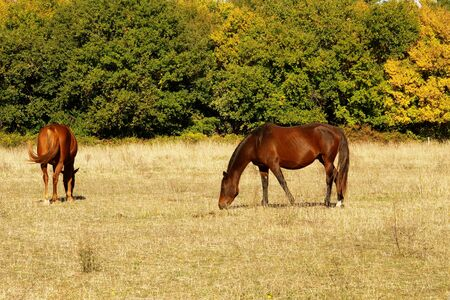 racehorses: thoroughbred horses in a meadow in autumn Stock Photo
