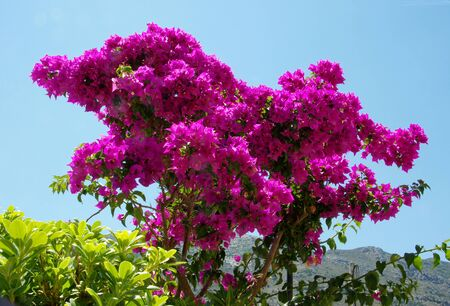 bracts: Bougainvillea bush in Crete