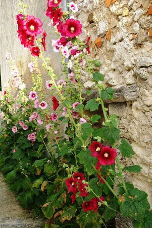 Roses tremieres along a wall