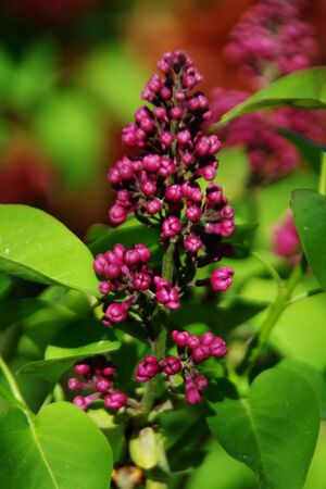 Bunch of red lilac flowers