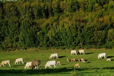 초원에서 가축의 무리 스톡 콘텐츠