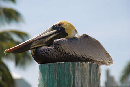 piling: Pelican on a Piling