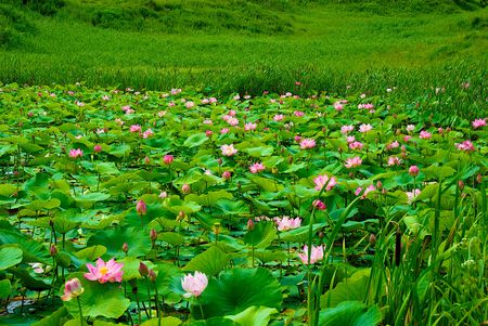 Primorski Territory. Lotuses Stock Photo - 7959336