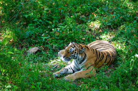 ussuri: Ussuri tiger Stock Photo