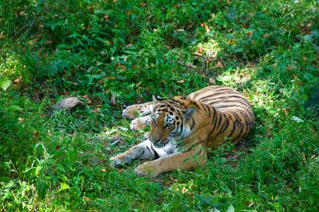 ussuri: Ussuri  tiger