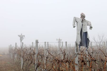 misterious: Ugly scarecrows dressed with old clothes standing in a dry vineyard in a foggy weather.