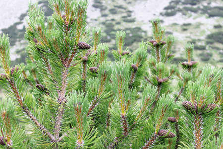 pinetree: A close up of a pine-tree with cones on it. Blurred mountain slope in the background. Stock Photo