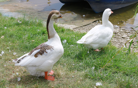 membranes: Two domestic geese standing by a lake on green grass.