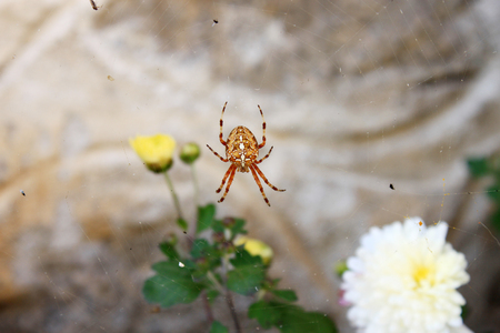 European garden spider (Araneus diadematus) sits in his web with flies. Blurred flowers in the background.