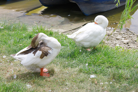membranes: Two geese cleaning themselves on the grass near the water. Stock Photo