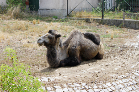 sitting on the ground: A camel sitting on the ground in the zoo. Photo taken in Sofia Zoo, Bulgaria. Stock Photo