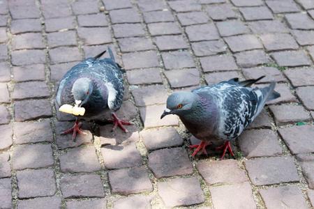 empedrado: Dos palomas de la ciudad en la calle pavimentada.