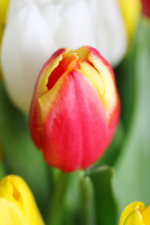 selected: Red colorful tulip closeup - selected focus.