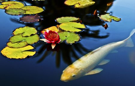Koi caught swimming with lotus in a pond.