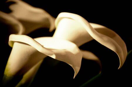 callas: Flowers called Callas