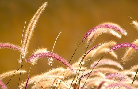 Pampas grass captured in late afternoon sunlight