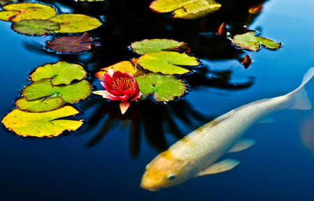 Lotus flowers and leaves on a fish pond Reklamní fotografie