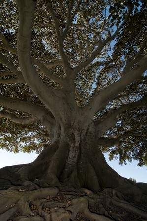 old photo: A look at an old gnarled tree set against a clear blue sky Stock Photo