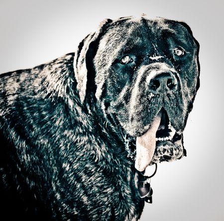 labrador teeth: High contrast image of a bull mastiff Stock Photo