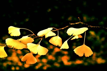 Maple leaves in Fall, japanese garden photo