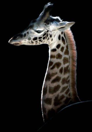 spot the difference: Giraffe calf hidden behind a rock