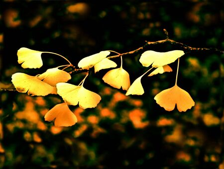 Yellow maple leaves in Fall  photo