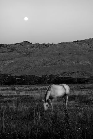 White horse in a pasture at moonrise