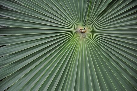 The converging lines of a jungle leaf.