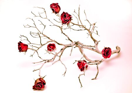 Studio shot of dry rose buds on a dead branch Imagens